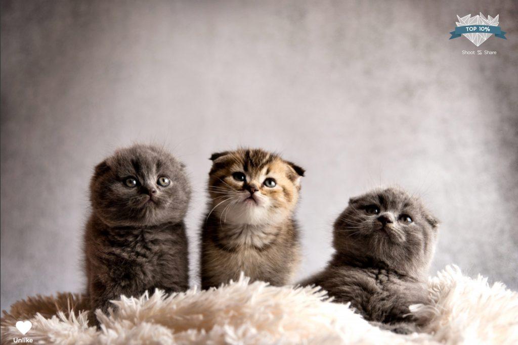 scotishfold_kitten_shoot&share_top10%